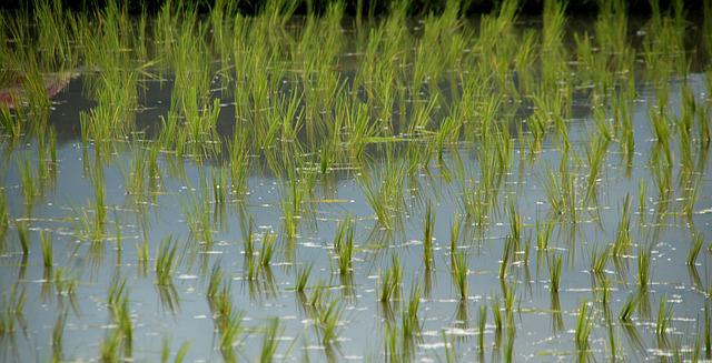 cultivos arsénico en el arroz
